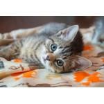 Puzzle   Kitten