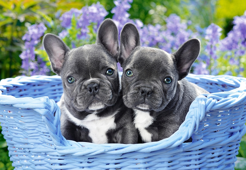 Puzzle French Bulldog Puppies Castorland 104246 1000 Pieces Jigsaw