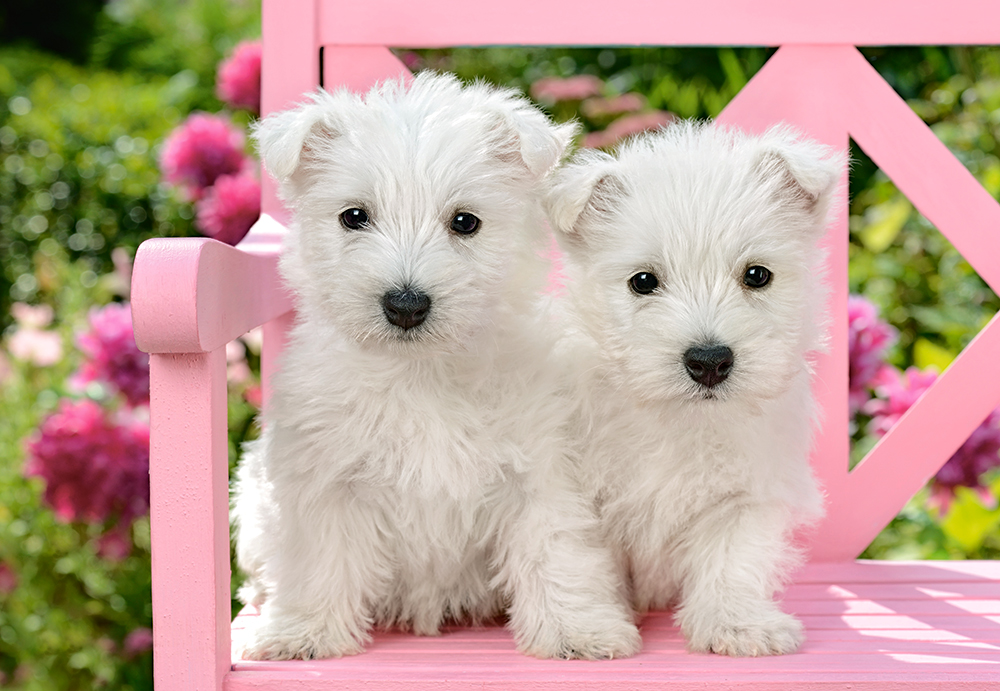 White Terrier Puppies