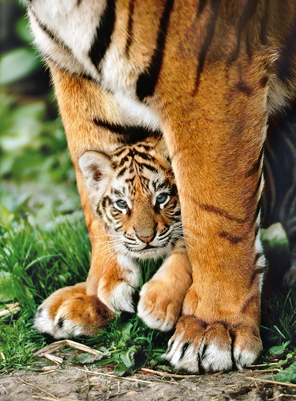 Puzzle Bengal Tiger Baby Clementoni 35046 500 Pieces