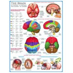 Eurographics-6000-0256 Jigsaw Puzzle - 1000 Pieces - The Brain