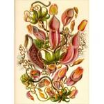 Puzzle  Grafika-Kids-00307 Ernst Haeckel: Kunstformen der Natur - Nepenthaceae (1904)