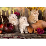 Puzzle  Grafika-Kids-00323 XXL Pieces - Persian kittens