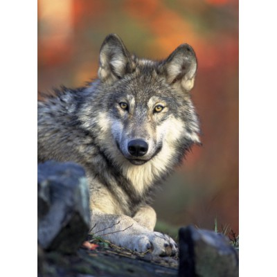 Puzzle Grafika-Kids-00515 Wolf
