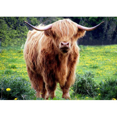Puzzle Grafika-Kids-00528 Magnetic Pieces - Highland Cattle