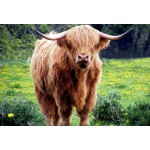 Puzzle  Grafika-Kids-00529 XXL Pieces - Highland Cattle