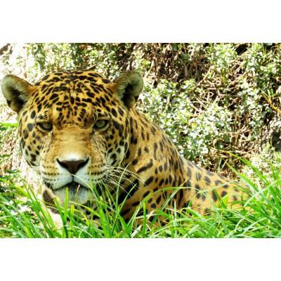 Puzzle Grafika-Kids-00536 Jaguar