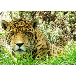 Puzzle  Grafika-Kids-00538 Magnetic Pieces - Jaguar