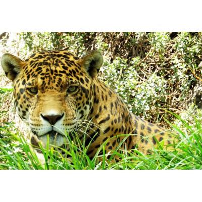 Puzzle Grafika-Kids-00539 XXL Pieces - Jaguar