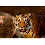 Puzzle  Grafika-Kids-00543 Magnetic Pieces - Tiger