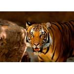 Puzzle  Grafika-Kids-00544 XXL Pieces - Tiger