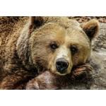Puzzle  Grafika-Kids-00799 Bear
