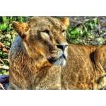 Puzzle  Grafika-Kids-00957 Lioness