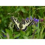 Puzzle  Grafika-Kids-01221 Butterfly
