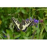 Puzzle  Grafika-Kids-01225 XXL Pieces - Butterfly
