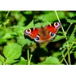 Puzzle  Grafika-Kids-01229 Butterfly