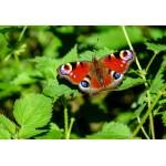 Puzzle  Grafika-Kids-01230 XXL Pieces - Butterfly
