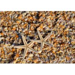 Puzzle  Grafika-Kids-01231 Shells and Starfish
