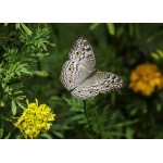 Puzzle  Grafika-Kids-01237 Magnetic Pieces - Butterfly