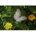Puzzle  Grafika-Kids-01239 XXL Pieces - Butterfly