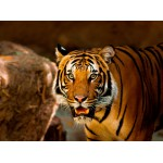 Puzzle  Grafika-01241 Tiger