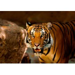 Puzzle  Grafika-01242 Tiger