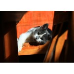 Puzzle  Grafika-01409 Kitten