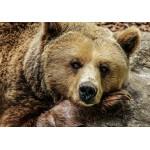 Puzzle  Grafika-01413 Bear