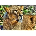 Puzzle  Grafika-01489 Lioness