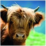 Puzzle  Heye-29745 Highland Cow