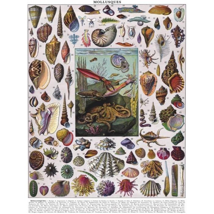 Vintage Images - Mollusks
