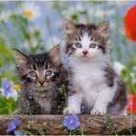 Ravensburger-08046 3 Puzzles - Kittens