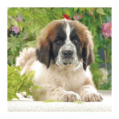 Ravensburger-15214 Jigsaw Puzzle - 500 Pieces - Square - Beautiful Saint Bernard