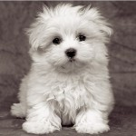 Ravensburger-15221 Jigsaw Puzzle - 500 Pieces - Square - Maltese Puppies