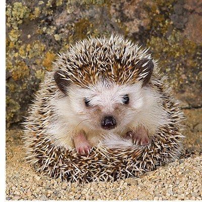 Ravensburger-15224 Jigsaw Puzzle - 500 Pieces - Square - Cute Hedgehog