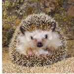 Ravensburger-15224 Jigsaw Puzzle - 500 Pieces - Square - Cute Hedgehog
