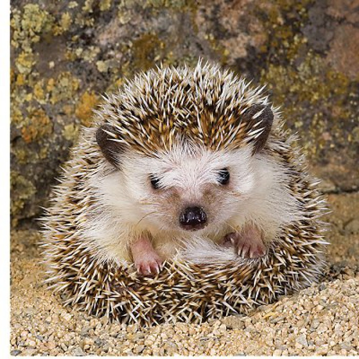 Jigsaw Puzzle - 500 Pieces - Square - Cute Hedgehog