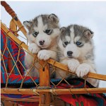 Ravensburger-15230 Jigsaw Puzzle - 500 Pieces - Square : Little Husky