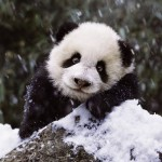 Puzzle  Ravensburger-15236 Panda