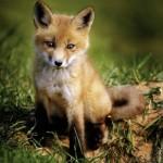Puzzle  Ravensburger-15237 Baby Fox