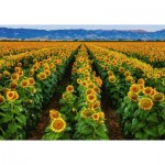 Puzzle  Ravensburger-15288 Field of Sunflowers